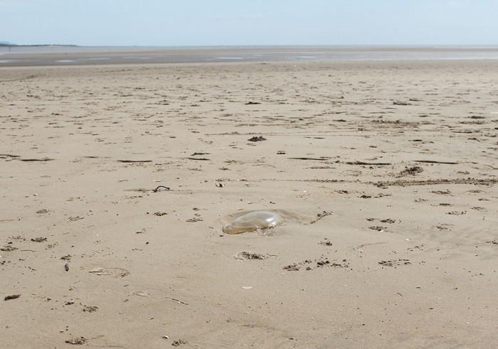 Llansteffan beach with jellyfish!