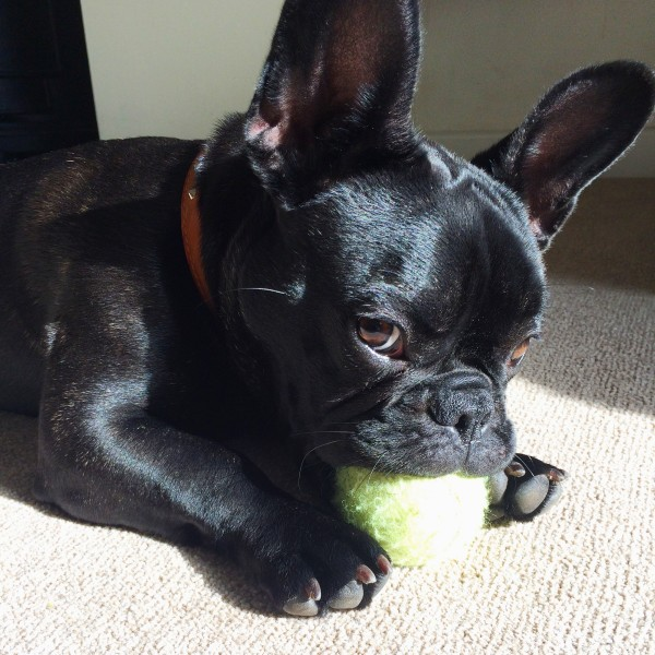Pepper my Frenchie