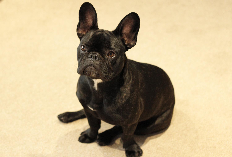 Pepper French Bulldog