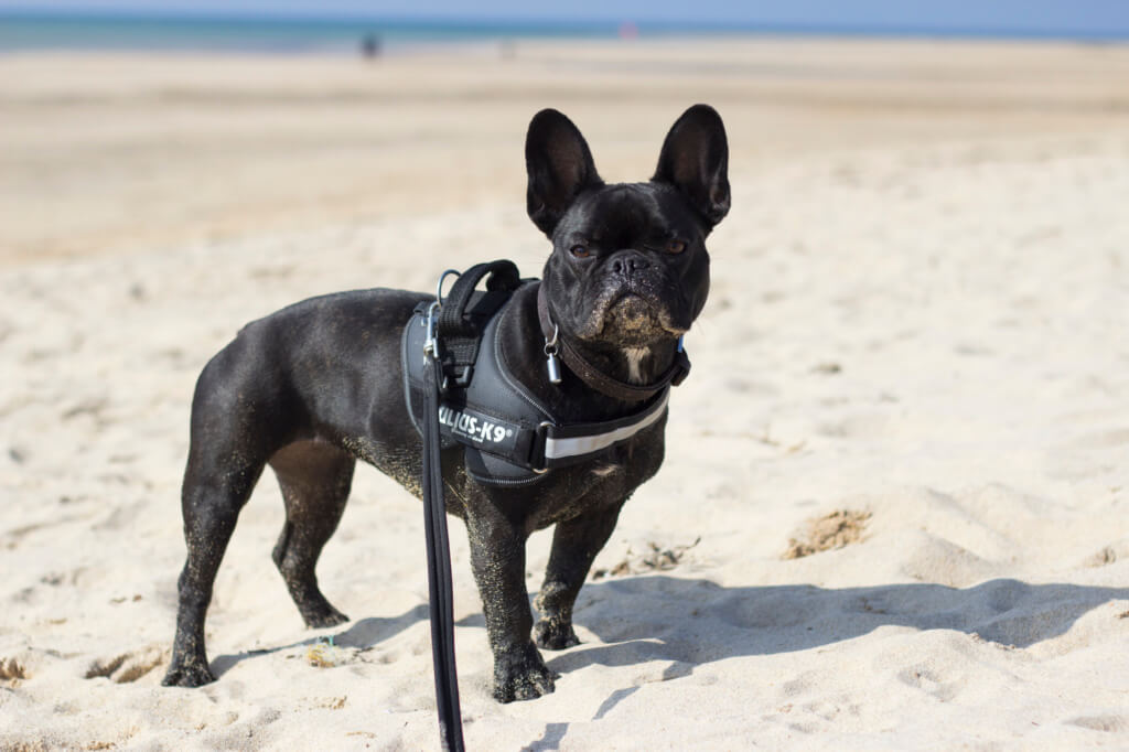 Pepper the French Bulldog on Hayle Beach