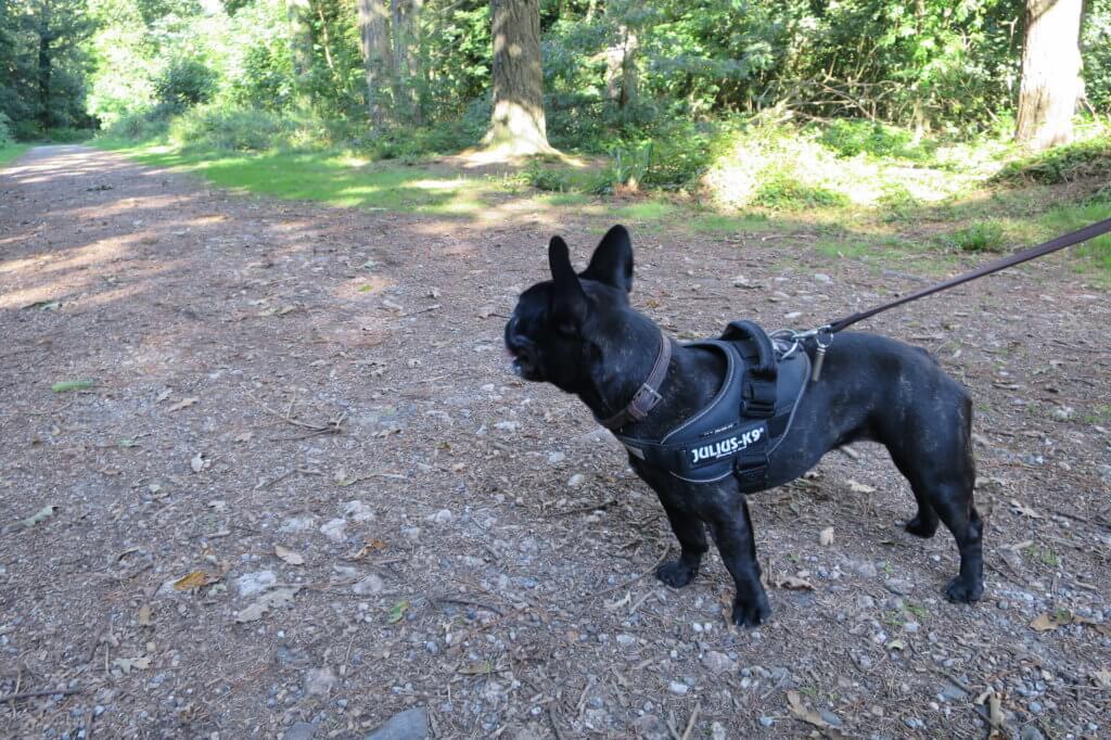 Dog Walks Tehidy Woods