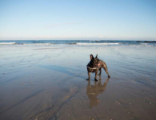 Portreath beach with Pepper the French Bulldog