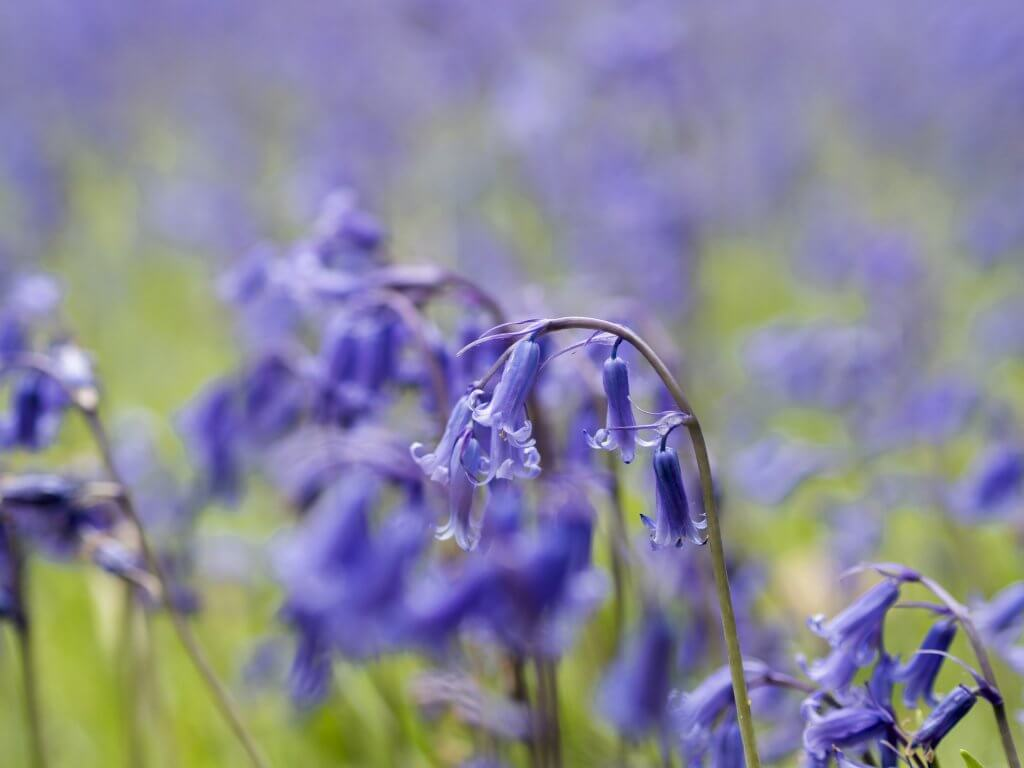Bluebells at Enys Gardens