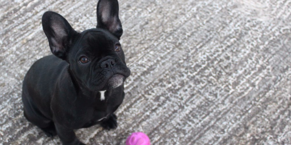 Pepper the French Bulldog