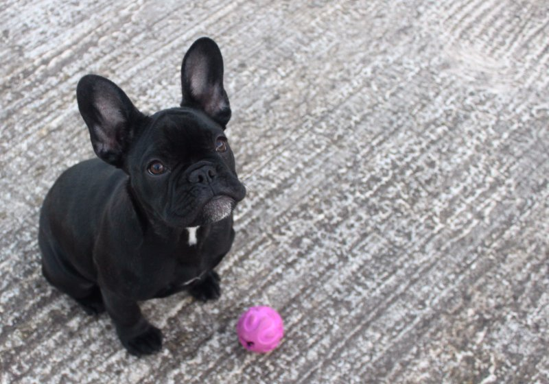 Pepper the French Bulldog