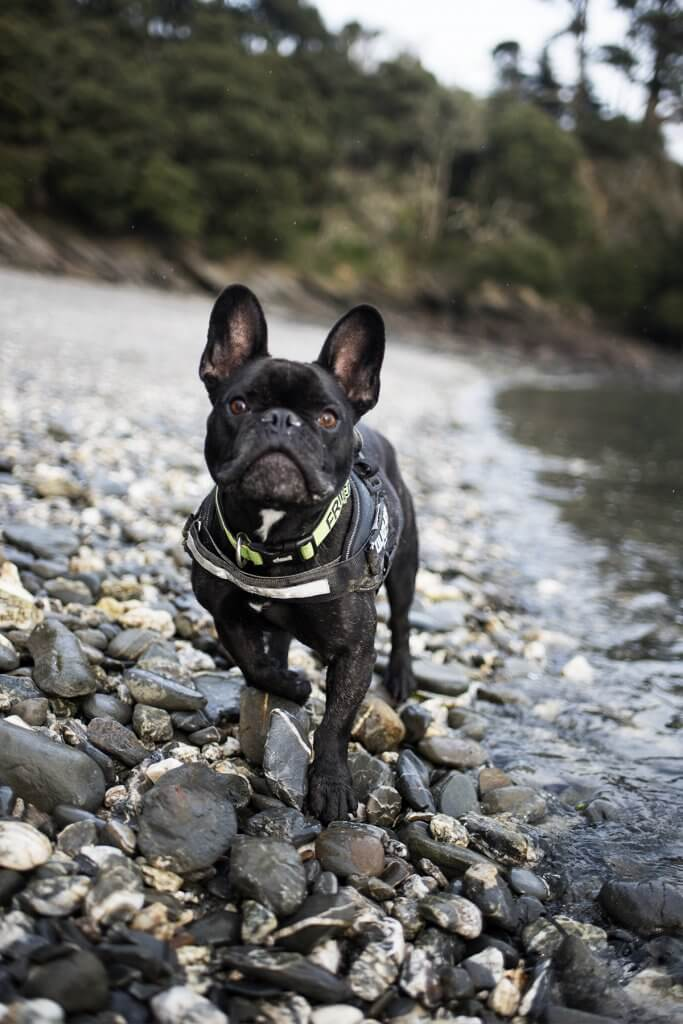 French Bulldog 3 years old