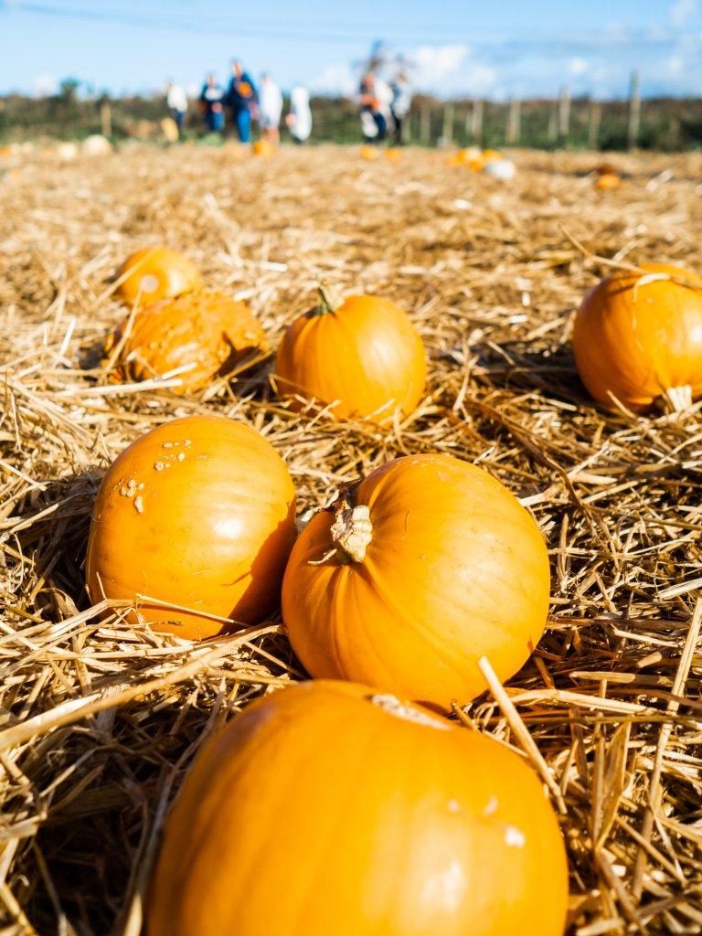 Pumpkin picking in Cornwall
