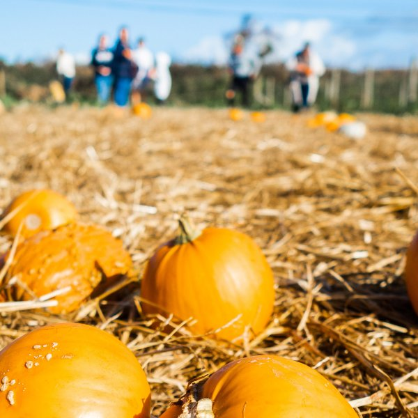 Pumpkin Picking in Cornwall