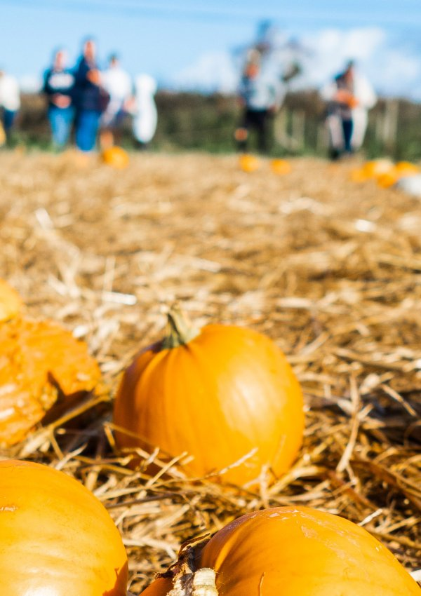Picking Pumpkins in Cornwall (+ what to do with them after Halloween!)